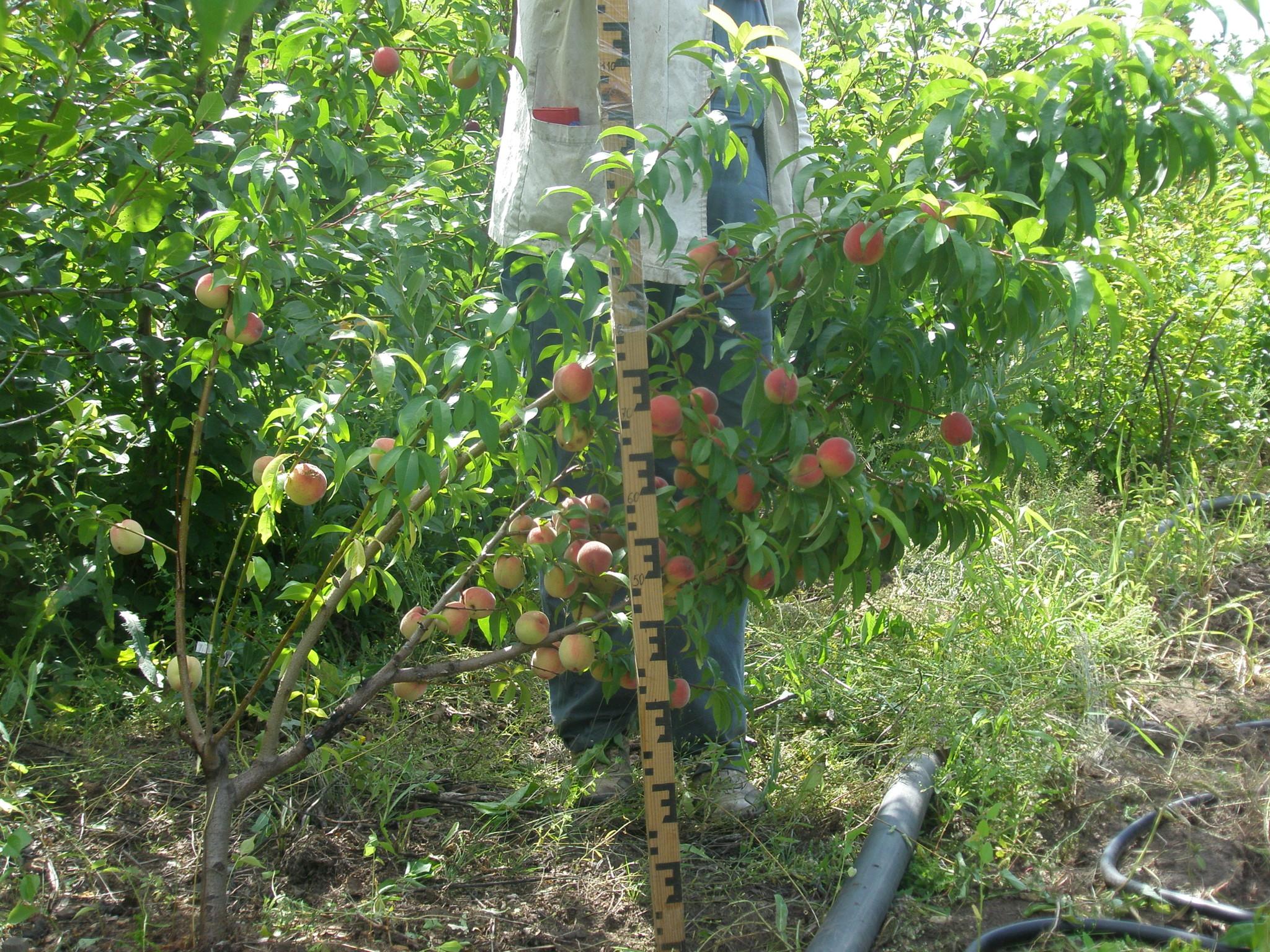 Выращивание персика в Подмосковье Сайт о саде, даче и 91